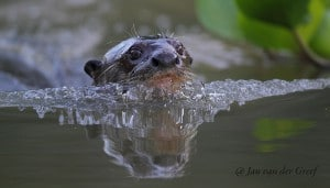 Giant-otter-JvdG-SFW