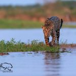 Jaguar-safaris-pantanal