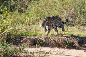 Jaguar_Hunting