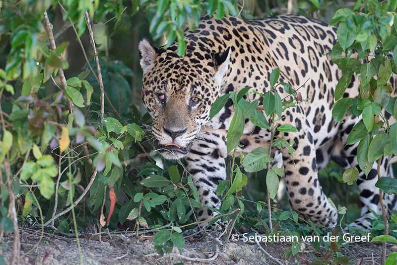 pantanal birdwatching tour. Black Bedroom Furniture Sets. Home Design Ideas