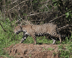 Pantanal_Mammals_gallery_I8U7169