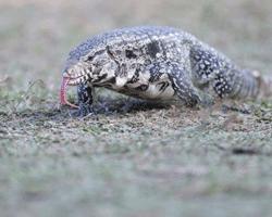 Pantanal_Reptile_gallery_I8U3702