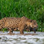 Pantanal-jaguar-safaris