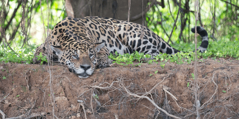pantanal tours and jaguar safaris from cuiaba pantanal brazil. Black Bedroom Furniture Sets. Home Design Ideas