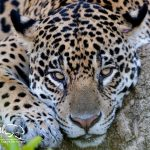 Jaguar-photography-safaris-pantanal