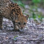 Ocelot_Pantanal-Brazil_I8U5155