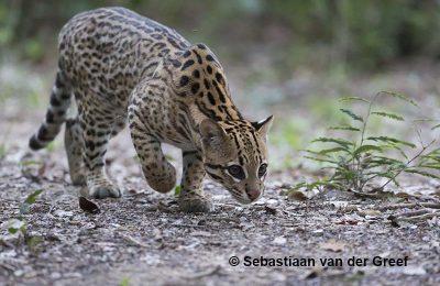 Pantanal ocelot photography