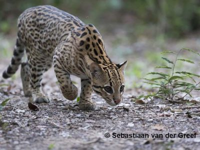 Pantanal ocelot photography