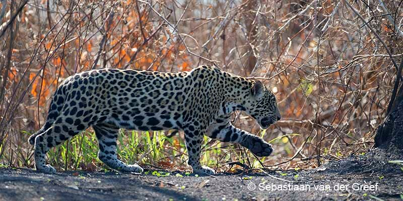 pantanal jaguar safaris specialized in jaguar photography wildlife tours. Black Bedroom Furniture Sets. Home Design Ideas