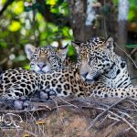 Jaguar-safaris-pantanal-