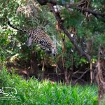 Pantanal-jaguar-safari-hunting