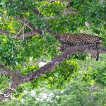 Pantanal-jaguar-safari-jaguar-in-tree