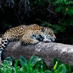 jaguar-photography-pantanal-