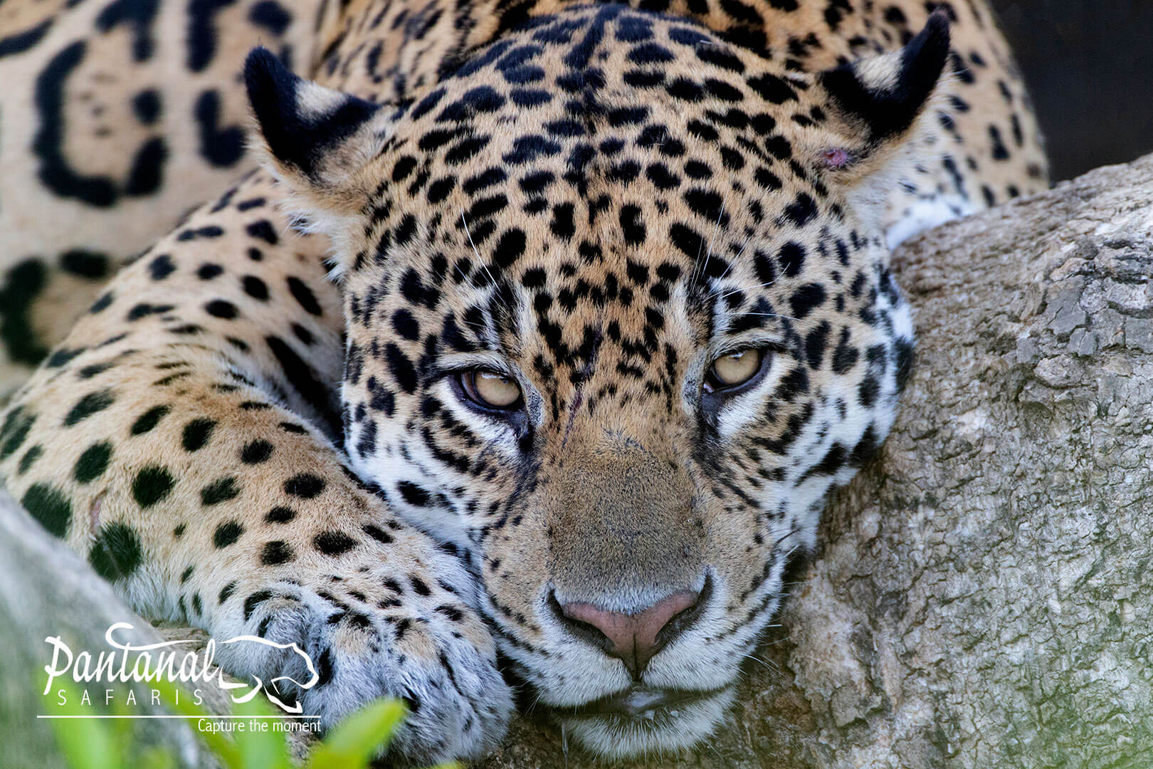 16-day jaguar tour