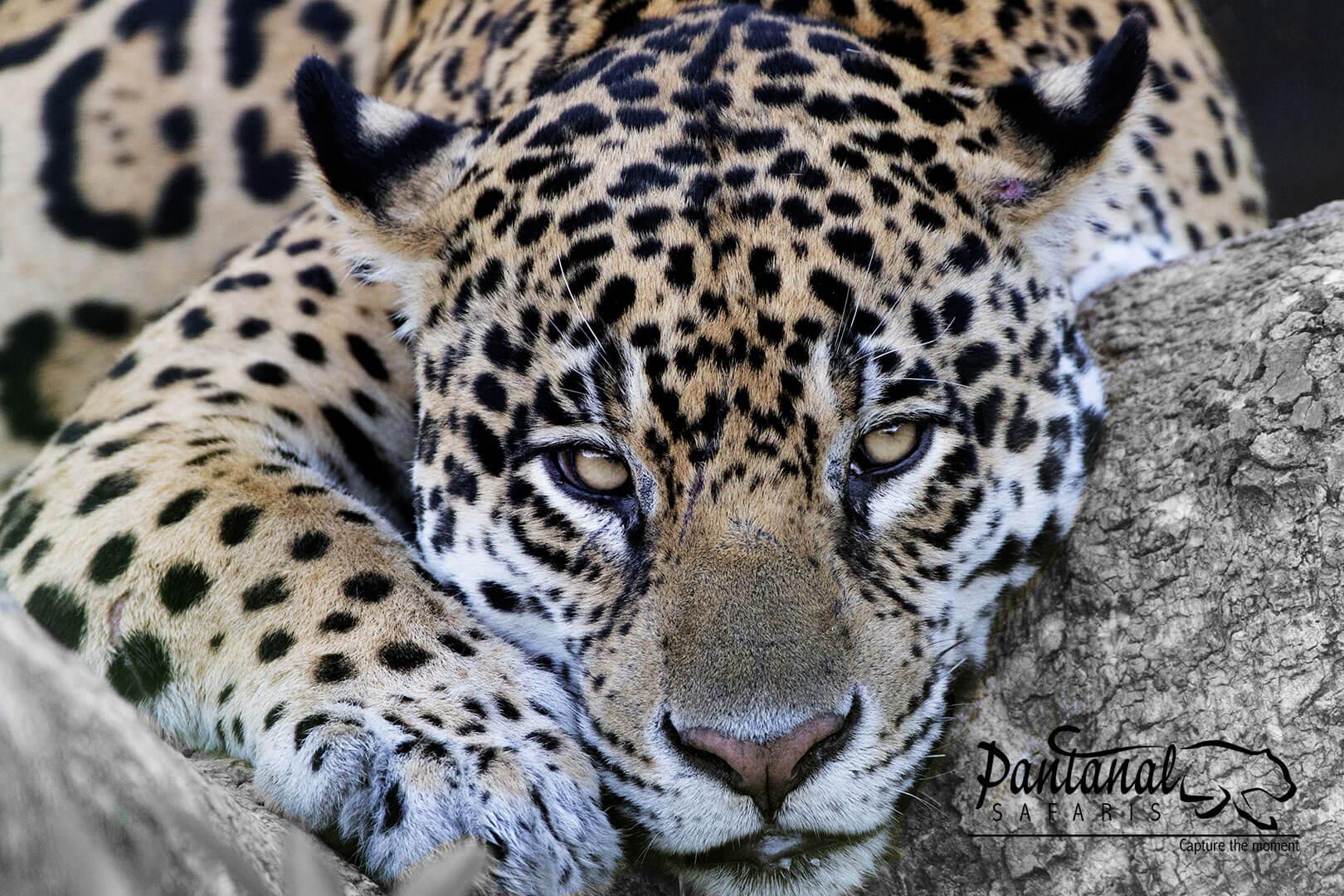 Pantanal safaris