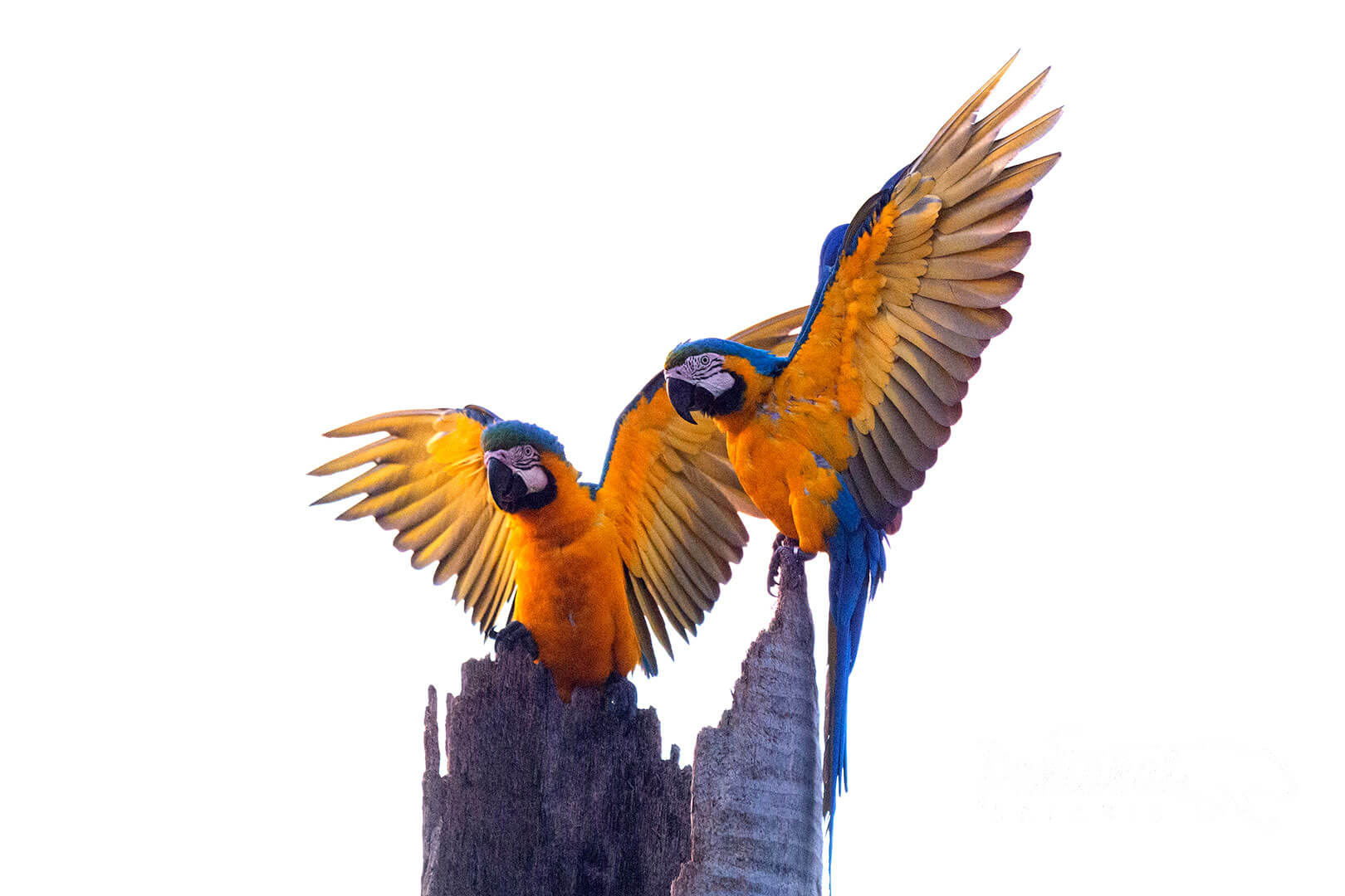 blue-and-yellow macaw pantanal wildlife tour