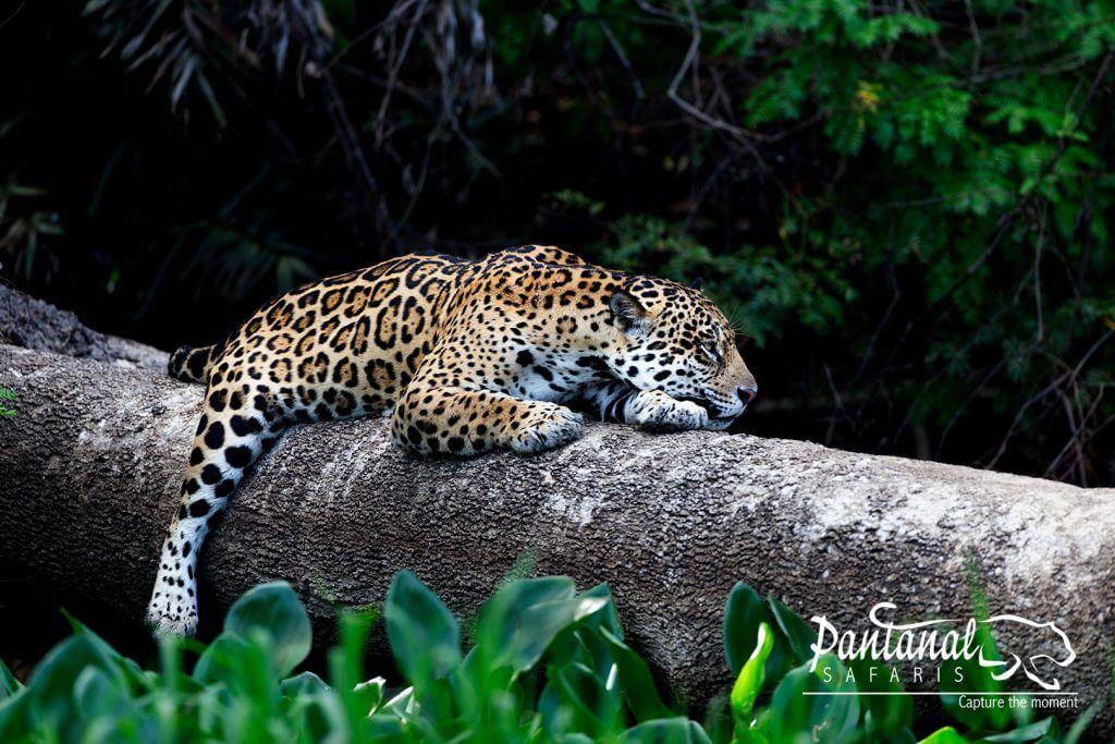 About the jaguar