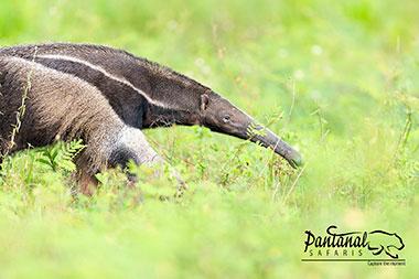 Giant anteater Pantanal Safaris