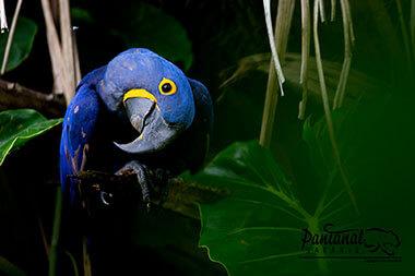 Hyacinth macaw Pantanal & jaguar safari