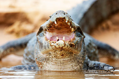Jacare caiman pantanal wildlife tour