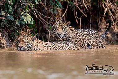 jaguar in the water, jaguar safari