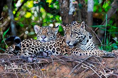 jaguar brothers