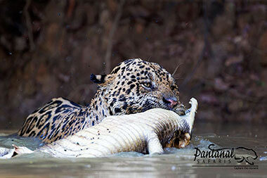 Jaguar with caiman