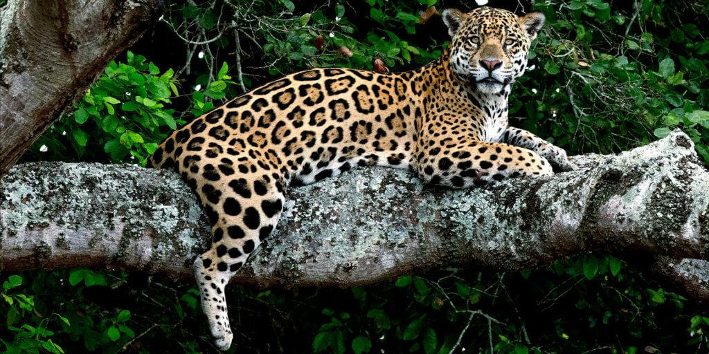 jaguar in tree, Pantanal photograph tour