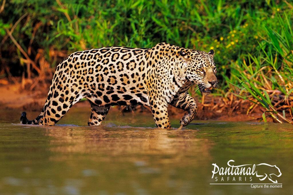 jaguar in the water, pantanal photography tour