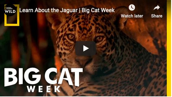 Bigcatweek jaguar safari