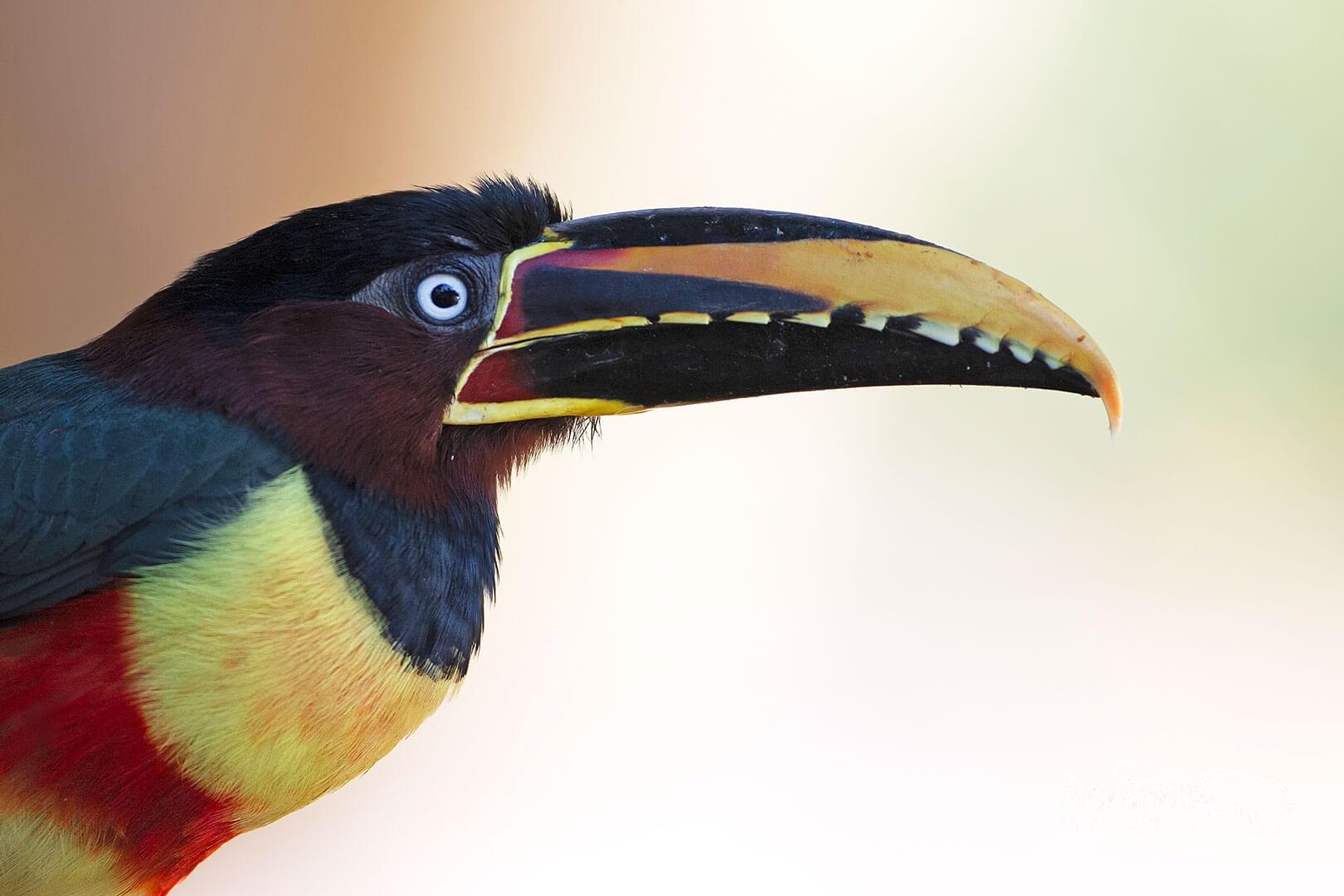 Pantanal wildlife chestnut-eared aracari
