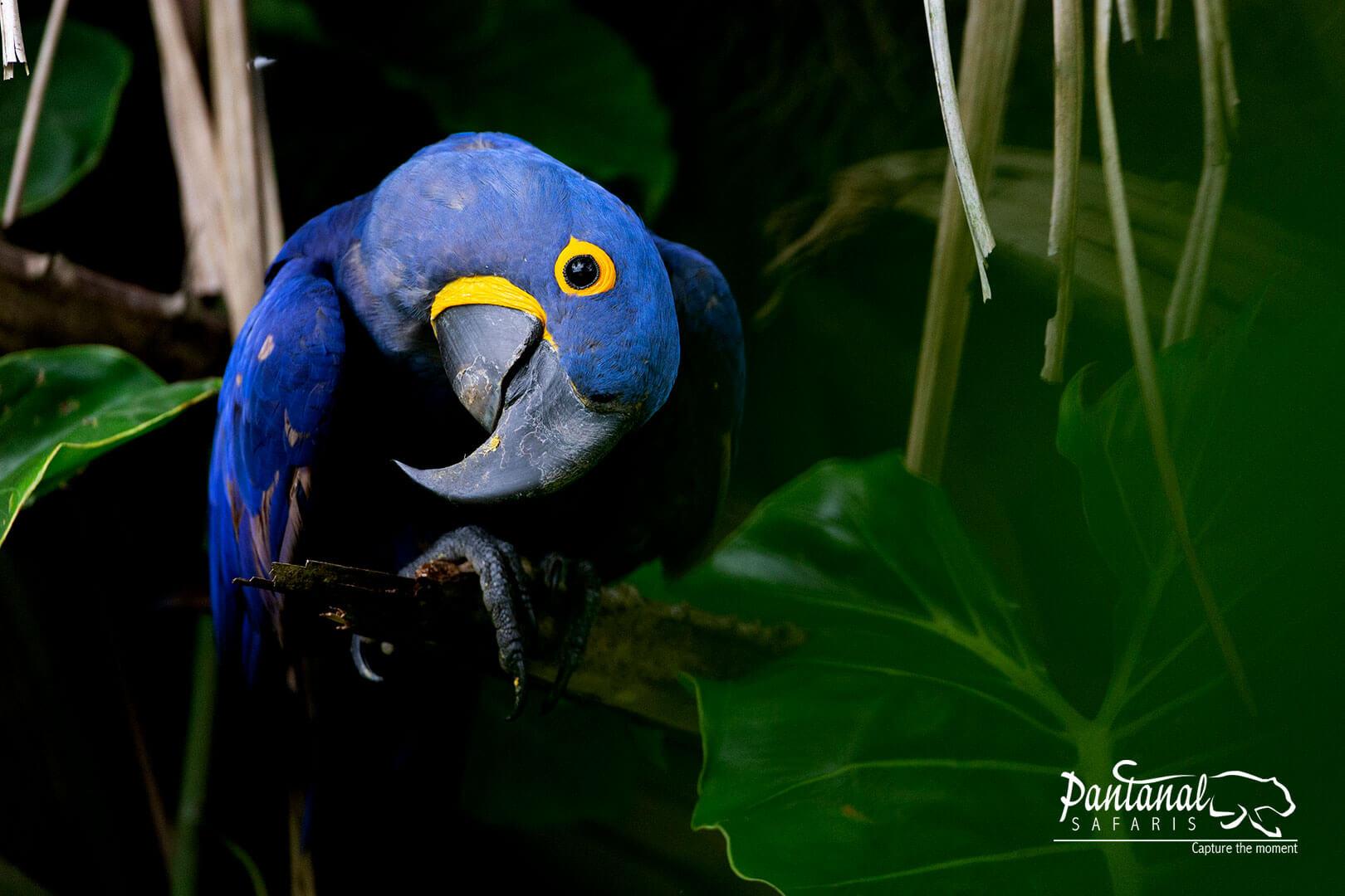 Pantanal wildlife hyacinth macaw