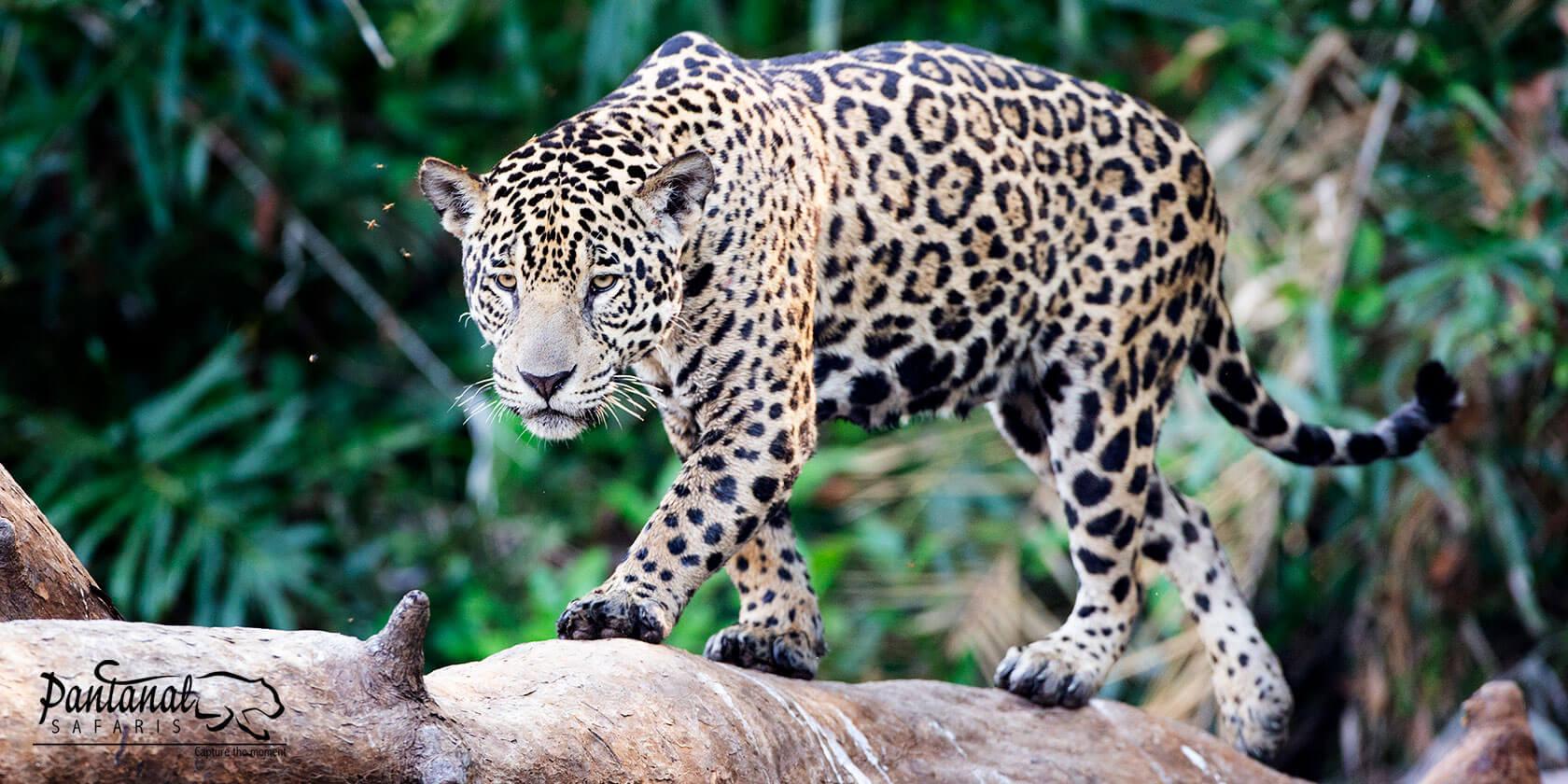 jaguar on tree